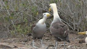 Albatros agitado dos realizar su danza de acoplamiento extraña en espanola del isla en las islas de las Islas Galápagos almacen de video