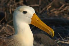 Albatros agitado, islas de las Islas Gal3apagos Fotografía de archivo