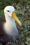 Albatros agitado - islas de las Islas Gal3apagos Imágenes de archivo libres de regalías