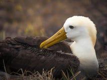 Albatros agitado, islas de las Islas Gal3apagos, Ecuador Foto de archivo libre de regalías