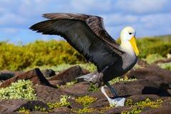 Albatros agitado que separa sus alas, isla de Espanola, las Islas Galápagos imagen de archivo