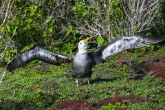 Albatros agitado que separa sus alas, parque nacional de la isla de Espanola, las Islas Gal?pagos, Ecuador fotos de archivo libres de regalías