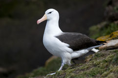 Albatros Black-browed - adulto fotos de archivo