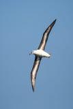 Albatros browed noir en vol contre le ciel bleu clair Images stock
