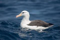 Albatros browed noir se reposant sur la mer Photographie stock libre de droits