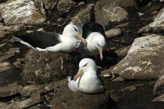 Albatros cejudo negro Foto de archivo