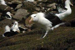 Albatros cejudo negro Fotos de archivo libres de regalías