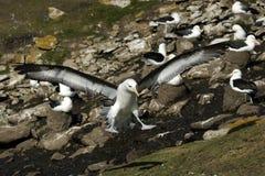Albatros cejudo negro Imagen de archivo libre de regalías
