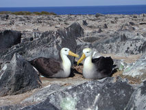 Albatros couple. Two albatros resting on a nest Royalty Free Stock Photo