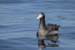 Albatros de cola corta joven que se sienta en el agua al verano Foto de archivo