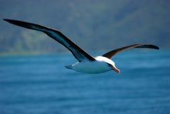 Albatros de la isla de Campbell del vuelo Fotografía de archivo