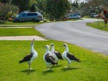 Albatros de Laysan Fotos de archivo