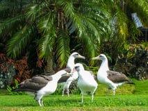 Albatros de Laysan Fotografía de archivo libre de regalías
