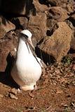 Albatros de Laysan avec l'oeuf Images stock