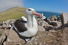 Albatros, der auf einem felsigen Abhang sitzt Lizenzfreie Stockfotografie