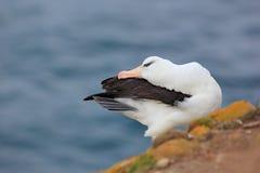 Albatros, der auf der Klippe sitzt Albatros mit grünem Gras Albatros von Falkland Island Seevogelalbatros in der Naturgewohnheit Lizenzfreies Stockfoto
