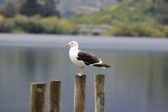 Albatros, der auf Pier steht Lizenzfreie Stockfotografie