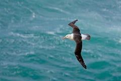 Albatros in der Fliege mit Seewelle im Hintergrund Schwarzbrauenalbatros, Thalassarche-melanophris, Vogelflug, Welle des Atlan Stockfoto