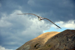 Albatros, der über den Gebirgsausdehnungen ansteigt. Lizenzfreie Stockbilder