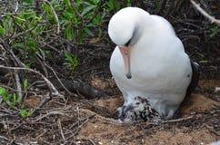 Albatros die Hawaiiaans domein nestelen stock foto
