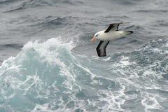 Albatros die tussen golven vliegt Royalty-vrije Stock Foto's