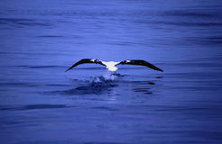 Albatros die van het overzees vist stock foto