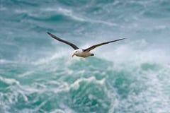 Albatros en mosca con la onda del mar en el fondo albatros Negro-cejudo, melanophris de Thalassarche, vuelo del pájaro, onda del  Foto de archivo
