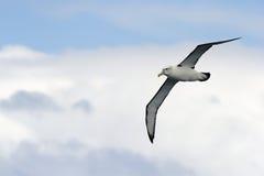 Albatros en vuelo Imagen de archivo libre de regalías