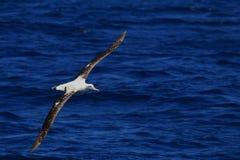 Albatros errant Images libres de droits