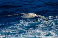 Albatros errant en mer Images libres de droits