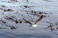 Albatros flying on beagle channle Stock Photos