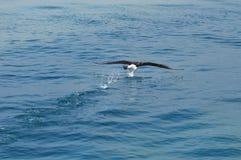 Albatros, Kaikoura, Nowa Zelandia Fotografia Stock