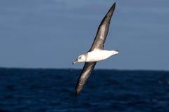 Albatros negro-cejudo joven sobre las aguas del Atlant del sur Foto de archivo