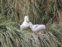albatros Negro-cejudo, melanophris de Thalassarche, jóvenes de alimentación, receptores acústicos de la isla, Malvinas-Malvinas Imagen de archivo libre de regalías