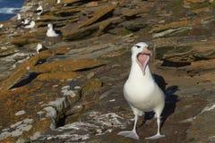 albatros Negro-cejudo que llama - Falkland Islands Fotos de archivo