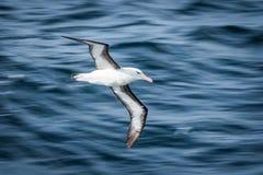 albatros Negro-cejudo que se desliza sobre ondas azules profundas Imagen de archivo libre de regalías