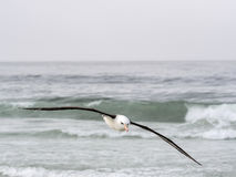 Albatros Negro-cejudo que vuela, melanophris de Thalassarche, isla de receptores acústicos, Falkland Islands-Malvinas Foto de archivo libre de regalías