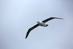 albatros Noir-browed Image libre de droits