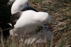 Albatros Noir-Browed sur l'île de Westpoint Photo stock