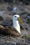Albatros op de Galapagos Stock Foto