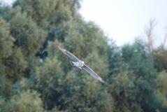 Albatros pe Dunarea Veche, Bratul Sulina stock images