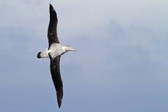 Albatros que vaga que se desliza sobre el paso de Drake Imagen de archivo libre de regalías
