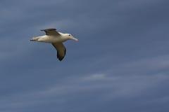 Albatros real en vuelo Imagenes de archivo
