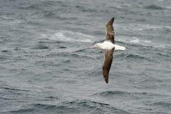 Albatros real meridional Imagenes de archivo