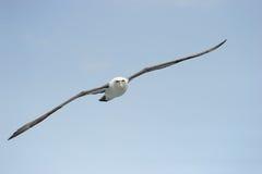 Albatros tímido Foto de archivo libre de regalías