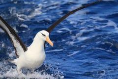 Albatros (Thalassarche melanophris impavida) Zdjęcie Stock