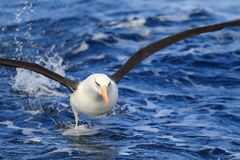 Albatros (Thalassarche melanophris impavida) Fotografia Royalty Free