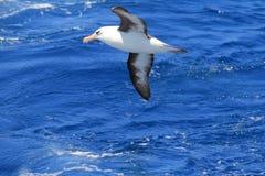 Albatros (Thalassarche melanophris impavida) Obraz Royalty Free
