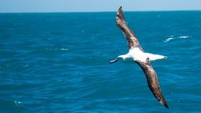 Albatros tijdens de vlucht Royalty-vrije Stock Foto