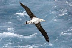 Albatros tijdens de vlucht Royalty-vrije Stock Afbeeldingen